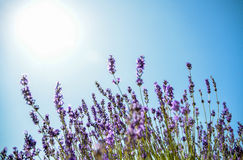Lavender flower with blue sky Stock Photos