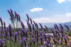 Lavender flower with blue sky Stock Photo