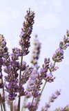 Lavender flower bunch Royalty Free Stock Images