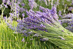 Lavender Flower Bunch in The Field Stock Images