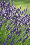 Lavender Flower Bush. A lavender flower bush in a field, located in Sequim, Washington royalty free stock image