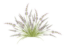 Lavender Flower Bush Stock Images