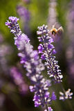 Lavender flower. Close up Lavender flower against the blurred background Royalty Free Stock Images