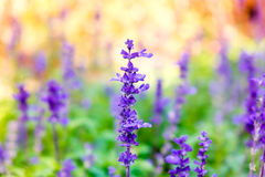 Lavender flower close up in field blur colorful Royalty Free Stock Photos