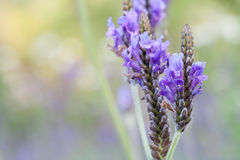 Lavender flower close up. Lavender flower in the mint family Stock Photos