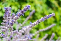 Lavender flower close up stock image