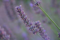 Lavender flower closeup stock image