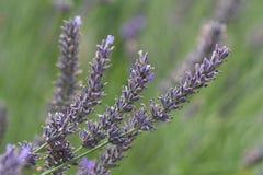 Lavender flower closeup royalty free stock photo