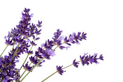 Lavender flower in closeup Royalty Free Stock Photos