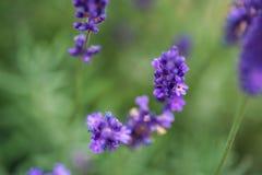 Lavender flower closeup, Purple flowers of lavender. aromatic herbal plantation Royalty Free Stock Image
