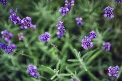 Lavender flower closeup, Purple flowers of lavender. aromatic herbal plantation Stock Photos