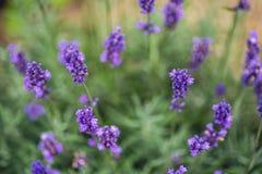 Lavender flower closeup, Purple flowers of lavender. aromatic herbal plantation Stock Photo
