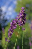 Lavender flower. Detail of purple lavender flower in nature Stock Photography