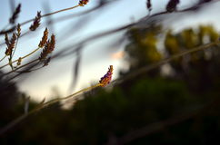 Lavender flower in evening sunlight Royalty Free Stock Images