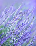Lavender Flower Field Royalty Free Stock Photo