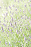 Lavender flower field Stock Photos