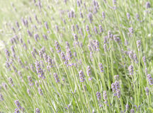 Lavender flower field Royalty Free Stock Images