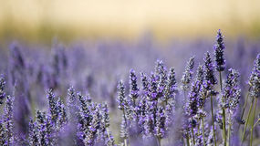 Lavender flower field. stock photography
