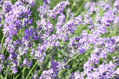 Lavender flower field Stock Photography