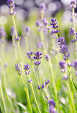 Lavender flower in the field. Beautiful lavender flower field background Royalty Free Stock Images