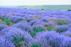 Lavender flower field, beautiful summer landscape stock image