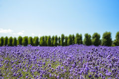 Lavender flower field with blue sky Royalty Free Stock Photo