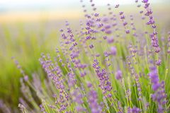 Lavender flower field. Stock Photos