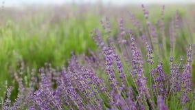Lavender flower field. stock video footage