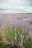 Lavender flower field Stock Image