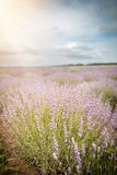 Lavender flower field, cloudy sky Royalty Free Stock Photos