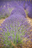 Lavender flower in a field Royalty Free Stock Images