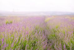 Lavender flower field. Stock Images