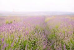 Lavender flower field. Stock Images