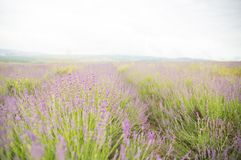 Lavender flower field. Royalty Free Stock Image