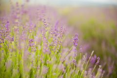 Lavender flower field. Royalty Free Stock Photos