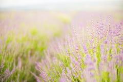 Lavender flower field. Stock Photo