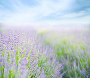 Lavender flower field. Royalty Free Stock Images