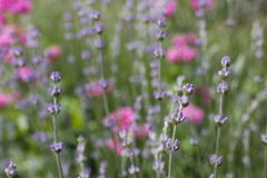 Lavender flower field. Royalty Free Stock Photography