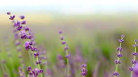 Lavender flower field. stock video