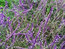 Lavender flower field, fresh purple aromatic wildflower Royalty Free Stock Photo