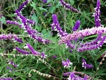 Lavender flower field, fresh purple aromatic wildflower Stock Photos