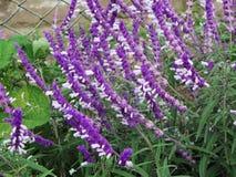 Lavender flower field, fresh purple aromatic wildflower Stock Image