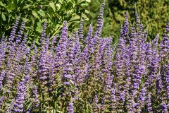Lavender flower field in the garden in summer day royalty free stock images