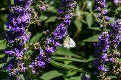 Lavender flower field in the garden in summer day stock image