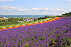 Lavender flower field. On the hills in Japan Stock Photography