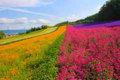 Lavender flower field. On the hills in Japan Stock Photos