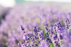 Lavender. Flower field in Hungary Royalty Free Stock Photo