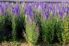 Lavender Flower Field Stock Photos