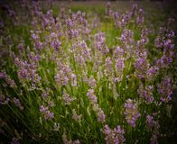 Lavender flower field in summer day stock photography