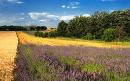 Lavender flower field in the summer, Hungary Royalty Free Stock Photos